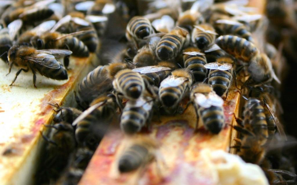 Unebenheiten im Bienenstock werden mit der rotbraunen Propolis überzogen.